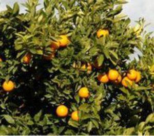 Anecoop defiende sus derechos sobre las mandarinas Clemensoon