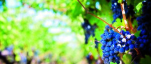 Informe 2016 del sector del Vino