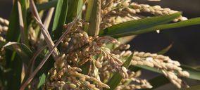 Kellogg y el IRTA colaboran para hacer más rentable y sostenible el cultivo del arroz