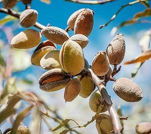 El Mapama concede ayudas para detectar y erradicar la almendra amarga