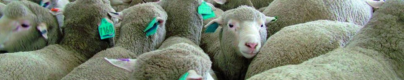 Informe 2017 del sector de Carne de Ovino