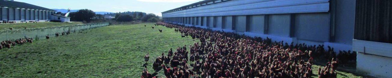 El mercado de huevos invertirá más de 100 M para liberarse de las jaulas