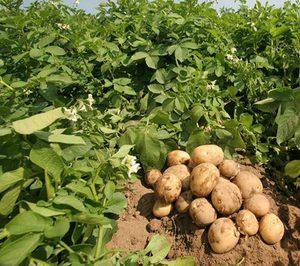 La producción de patata cae en España, mientras crece en el resto de Europa