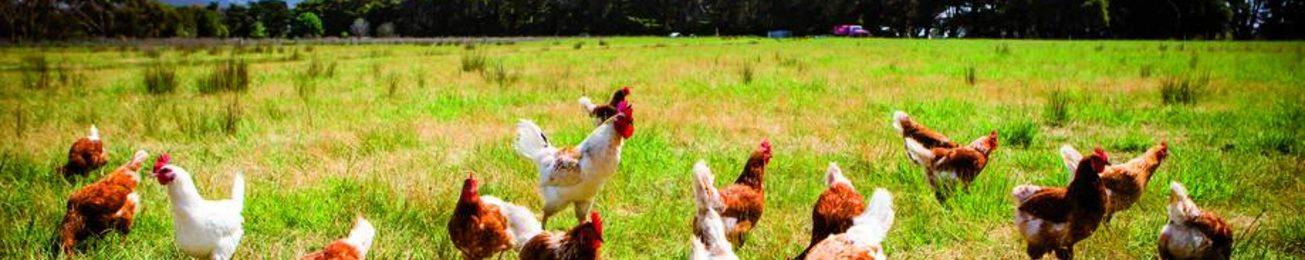 Informe 2018 del sector avícola en España