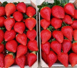 Planasa innova en variedad de fresa bajo la marca Savana