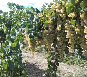 BestBrandy avanza en nuevas técnicas sobre el viñedo