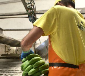 El plátano canario demanda herramientas para defenderse de la banana