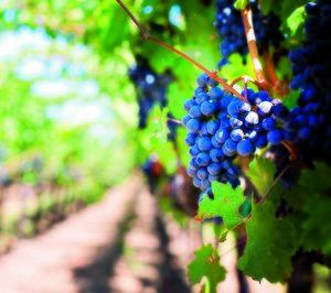 España se mantiene como tercer productor mundial de vino, pese a crecer un 26%