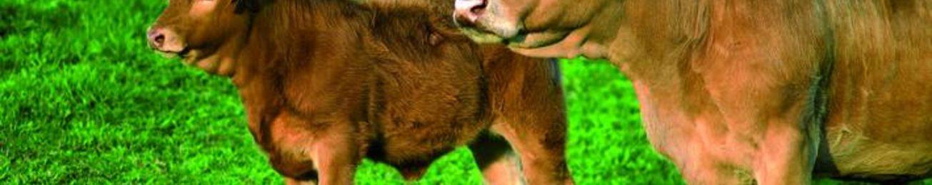 Informe 2018 del sector de carne de vacuno en España
