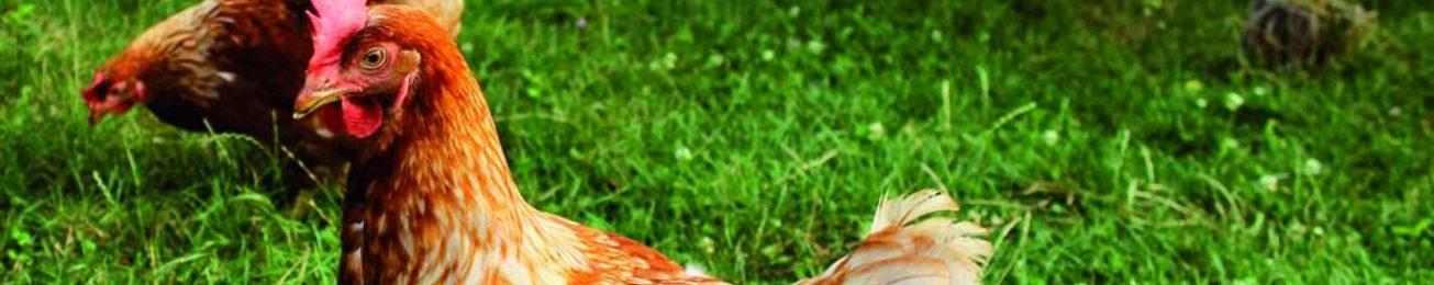 Informe 2019 del sector avícola en España