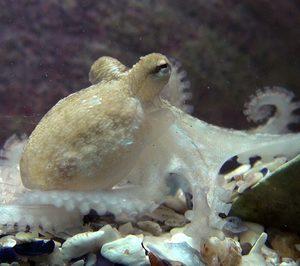 Nueva Pescanova comercializará pulpos de acuicultura en 2023