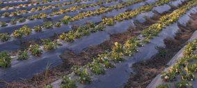 El sector onubense de frutos rojos vuelve a apostar por la frambuesa