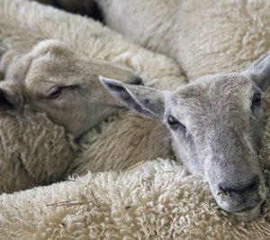 Primera víctima empresarial del Covid-19 en el sector ovino