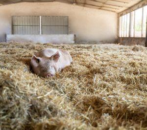 Vall Companys producirá 6.000 t de carne de cerdo ecológico