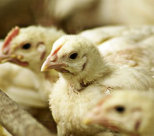 ¿Cómo afronta la carne de pollo su nueva crisis?