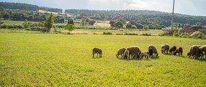 Informe 2020 del sector de Carne de Ovino