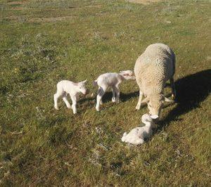 Nace AWIS, la marca de bienestar animal para el cordero y cabrito español