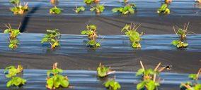 El arándano, único berrie que aumenta su cultivo para la campaña 2020/2021