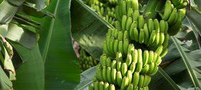Asprocan teme que el sector del plátano se vaya desmantelando