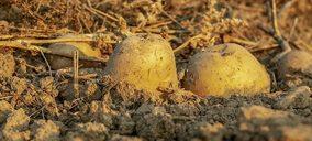 Patata, el consumo crece mientras se avanza en la profesionalización del sector