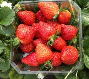 El Pinar comercializará más de 200 M de plantas durante la actual campaña de fresa
