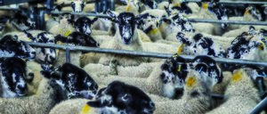 Informe 2021 del sector de Carne de Ovino