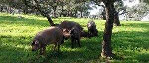 Informe 2021 del sector de cerdo ibérico en España